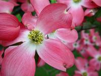 Pink Dogwood Blossoms - Horizontal