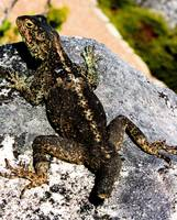 Table Mountain lizard