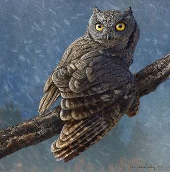 Snow Flurry Western Screech Owl By R Christopher Vest