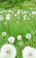Flower 10c Dandelion White Spring Flower Meadow