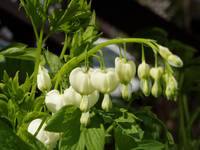 white bleeding hearts #3