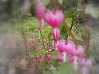 red bleeding hearts #2