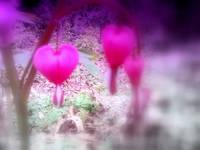 red bleeding hearts #5