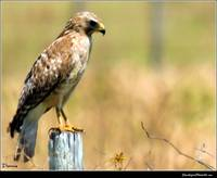 The Red Shouldered Hawk