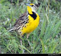 The Eastern Meadowlark