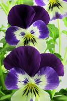 Purple Bicolor Viola Hybrid 4, Colorado
