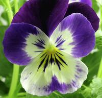 Purple Bicolor Viola Hybrid 2, Colorado