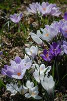 Striped Crocus Medley