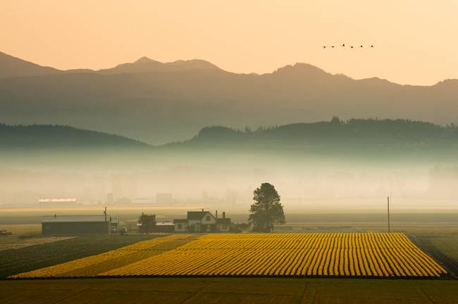 Skagit Valley Daffodil Field