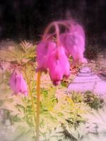 pink bleeding hearts #5, tinted