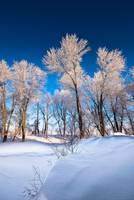 Frosty Trees with Snowbank