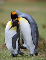 Two love penguins
