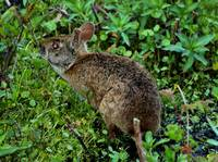 Marsh Rabbit
