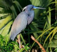 Tricolored Heron perched