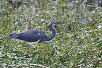Tricolored Heron 3