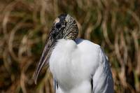 Portrait of a Woodstork