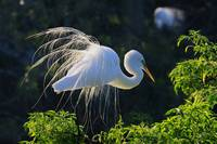 Egret Plummage in Early Morning light