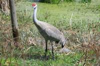 Beautifull Sandhill Crane
