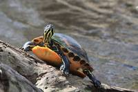 Slider turtle sunning on a log