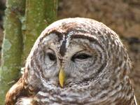 Barred Owl Head