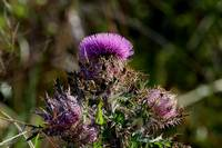 Horrible thistle