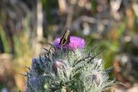 Swallowtail Butterfly on a thistle