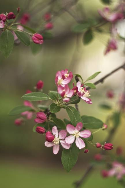 Apple Blossoms Dreams