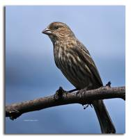 Female House Finch on Perch