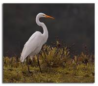 Close up of Great Egret