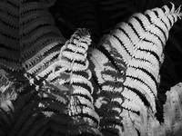 Black and White Ferns