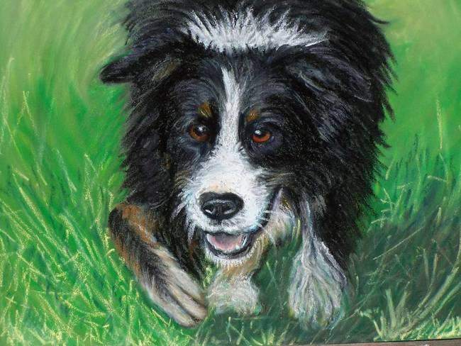 Stunning Quot Border Collie Quot Drawings And Illustrations For
