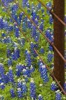 Country Bluebonnets 288