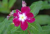 Madagascar Periwinkle this morning after rain stop
