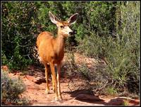 Female Mule Deer