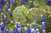 Cactus and Bluebonnets 520