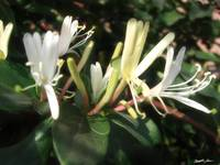 White Honeysuckle 1