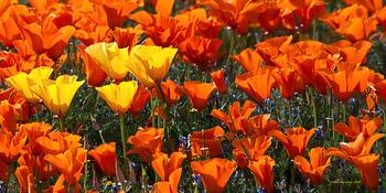 California Poppies Panorama