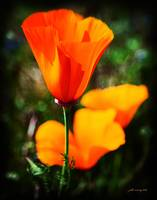 California Poppy #2