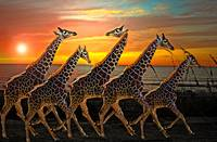 Giraffe Run