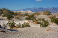Scrub vegetation in Death Valley, California