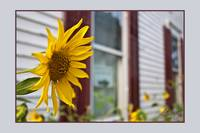 Sunflower and Windows