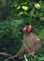 Macaque in wild jungle