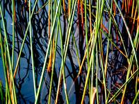 Pond Grass Wellfleet