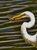 Egret Eating Fish at Pond