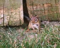 Football Chipmunk