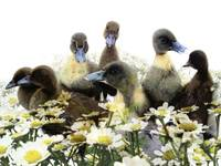 Ducklings & Flowers