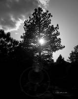 Pine in Sunset at Alcova (B&W)