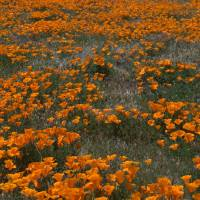 California Poppies Blue Sky and White Clouds by Eileen Ringwald