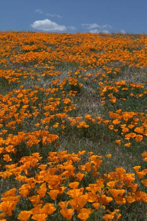 California Poppies Blue Sky and White Clouds