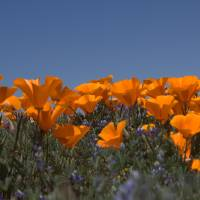 California Poppies Horizontal with Blue Sky by Eileen Ringwald